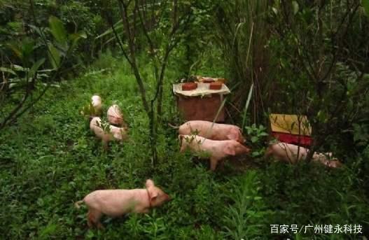 养殖户高度重视RFID技术下的众筹养猪模式